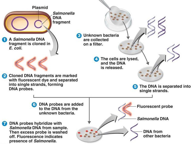 1000 ideas about in situ hybridization on pinterest for Fish genetic testing