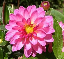 60 best dahlia images on pinterest | flowers, beautiful flowers