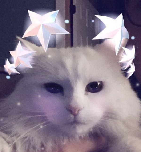follow me on IG missbettywhite2009 #cat #lol #whitecat #betch #bitch #longhairdontcare #funny #humor #animals #pets #rescue #bettywhite #snapchat #starboy #star #stars #blueeyes #halo #eyelashes