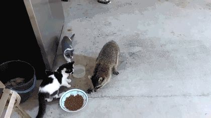 Raccoons will never get mad if you tell them they run funny. They think they run funny too. | 17 Reasons Raccoons Should Be Your Favorite Animal