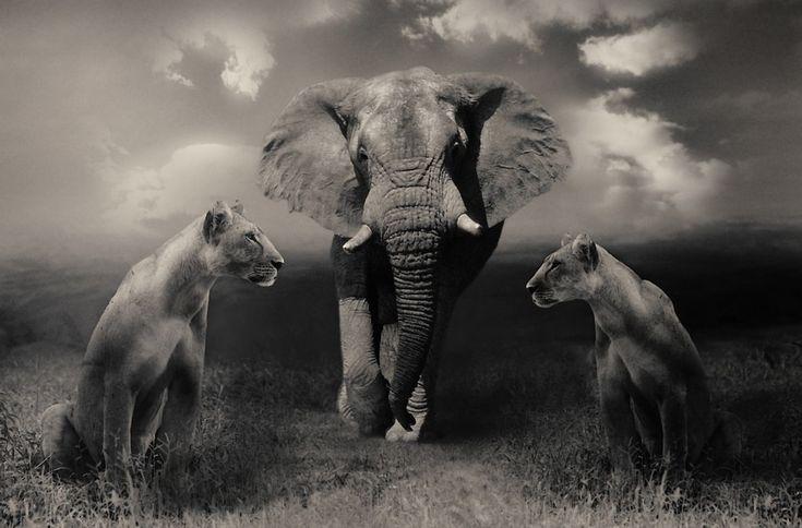 Lionessit, Lion, Norsu, Isot Kissat, Wildlife, Safari