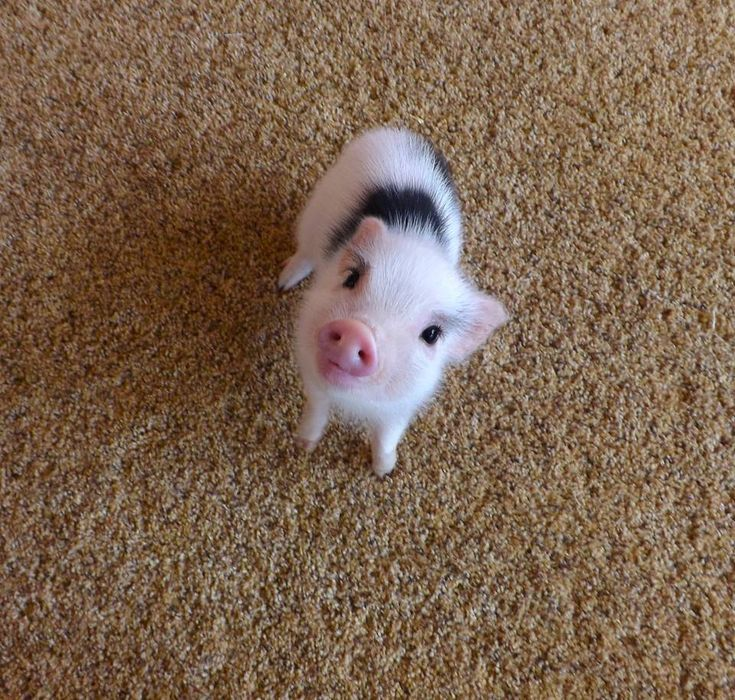 cute baby girl piglet from az mini micro pigs.