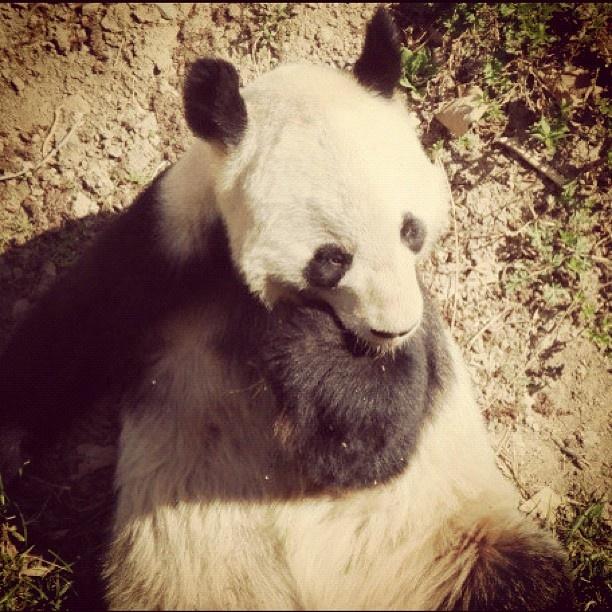 #panda #China #Beijing #zoo #Cute