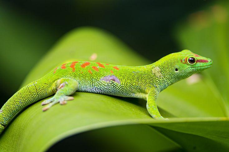 les geckos se nourrissent principalement d'insectes