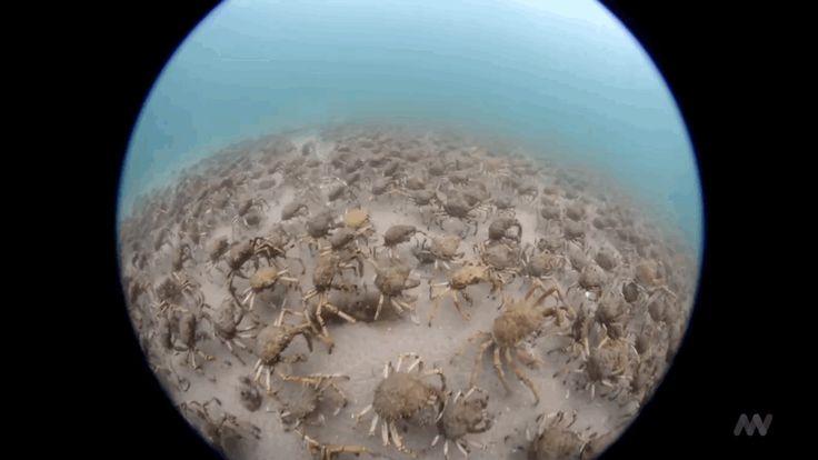 migración de cangrejos araña gigantes