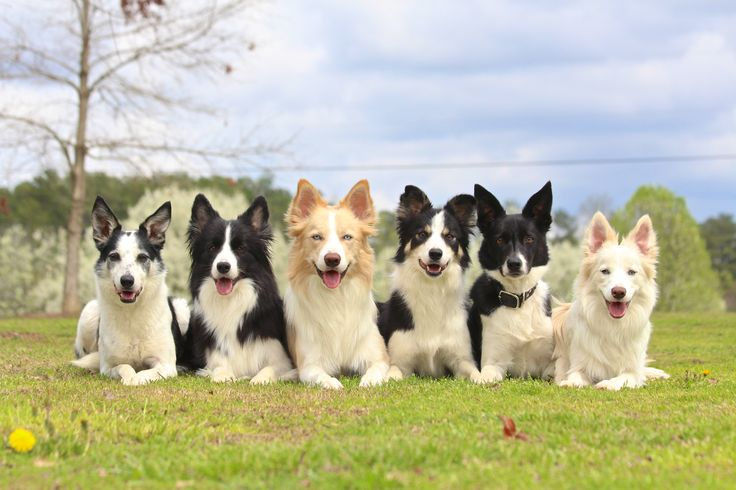 ABCA/AKC performance Border Collie breeder. Dog agility, dock diving, frisbee. Puppies available. Black and white border collie, ee red border collie, merle border collie, and gold and white border collie. Located north of Atlanta, Georgia.