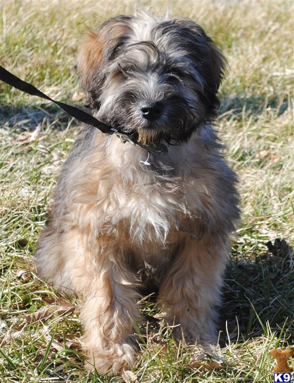 Soft Coated Wheaten Terrier Mix