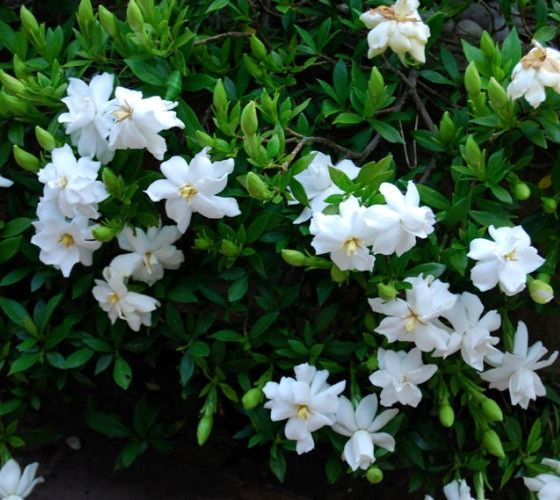 Radicans Dwarf Gardenia Gardenia jasminoides 'Radicans' Has the same wonderful fragrance of larger gardenias, but is dwarf in nature, low growing and rounded form enhanced with petite white flowers. P