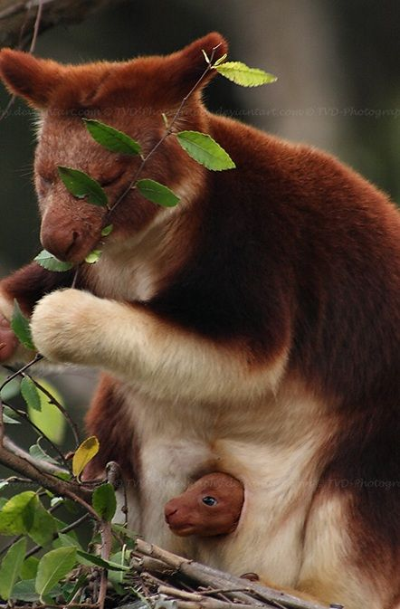 Tree Kangaroo with her baby... that little thing is just too cute, peeking its little head out like that!