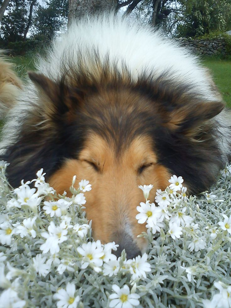 This is a beautiful sable rough collie sleeping in flowers!