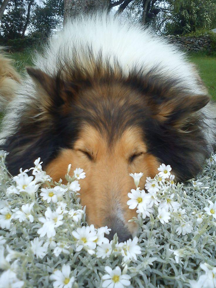 Beautiful rough collie.....