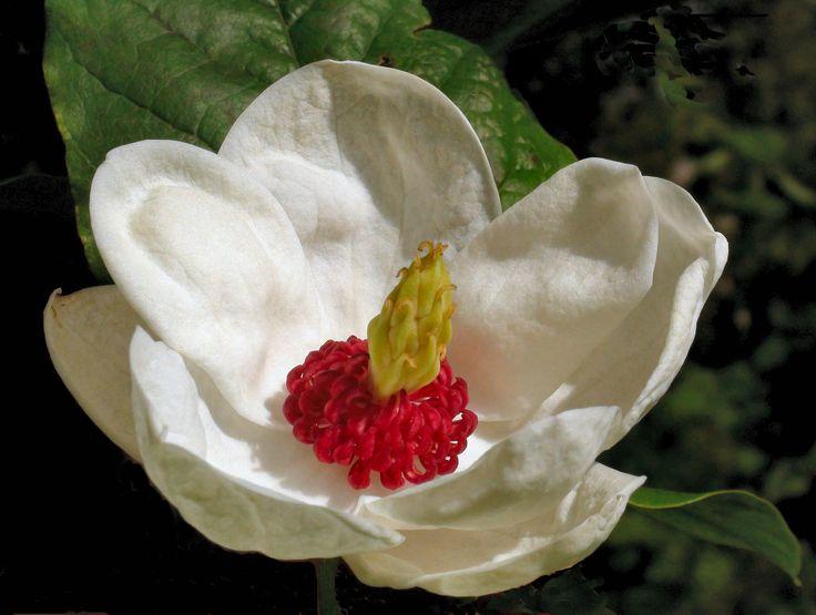 simply divine Magnolia sieboldii at Bryngwyn Gardens