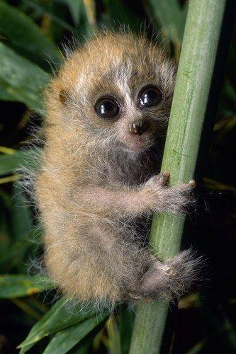 Pygmy Slow Loris infant clinging to branch, captive, Duke University...