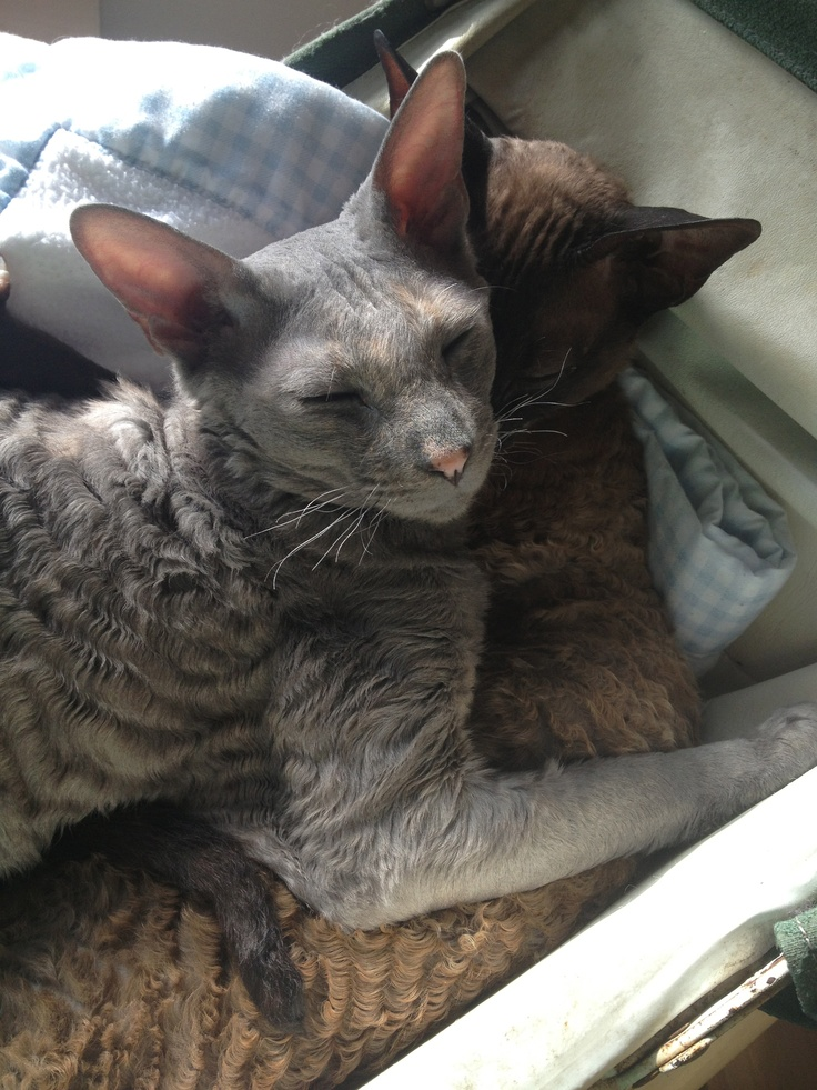My two Cornish Rex Kitties,