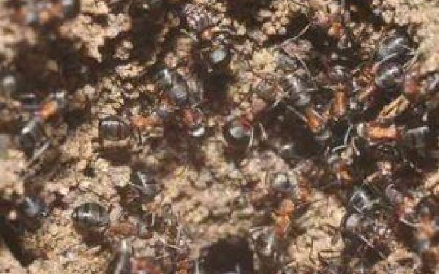 Una colonia di formiche sopravvive in un bunker nucleare sovietico I biologi polacchi hanno scoperto la presenza di una colonia di formiche nel bunker nucleare russo abbandonato nei boschi di Templewo, al confine con la Germania. Si tratta di una notizia emblematica #formiche #bunker #scienza #nucleare
