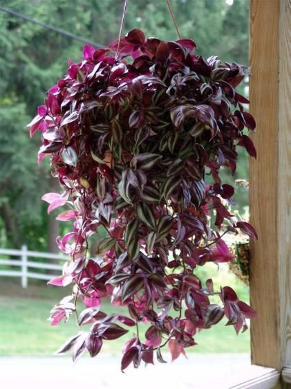 Latin name zebrina pendula common name wondering jew zebra plant houseplant four - Wandering jew plant name ...