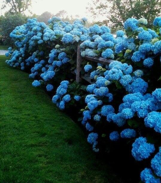 The Best Hydrangeas – A Multi-Part Series for homeowners… Part 2 – Bigleaf Hydrangeas (Hydrangea macrophylla) an How to Grow Them