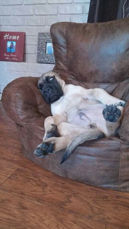 A lazy mastiff pup :)