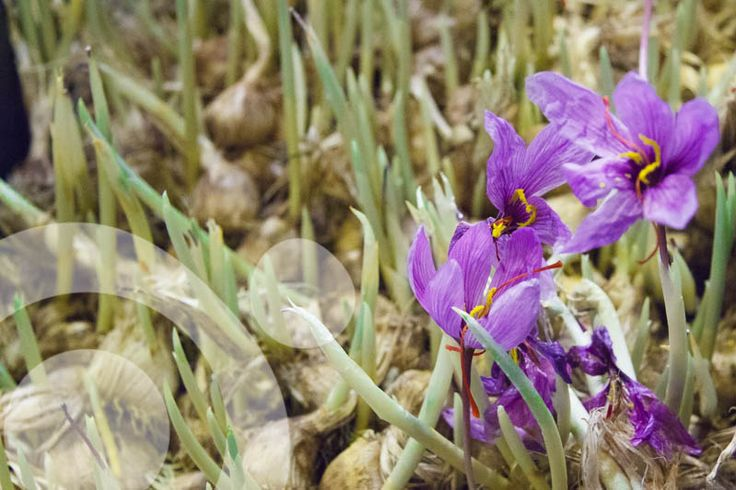 The best saffron in the world. Its production creates jobs, contributes to mantain a traditional food speciality and agrobiodiversity.