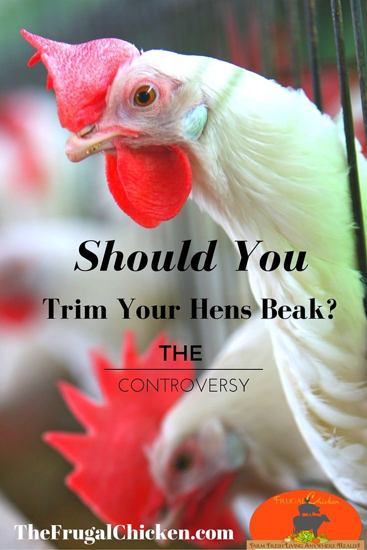 What Fruit Can Chickens Eat, Aggressive Dogs, Jersey ...