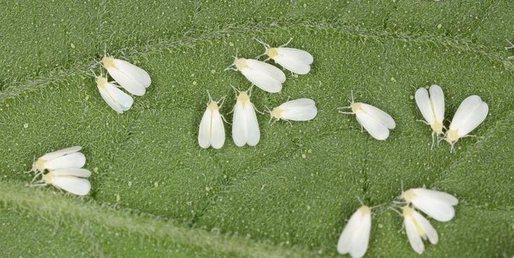 Saiba como pode identificar e combater  a praga da mosca-branca