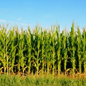 GMO Corn Chicken Feed May Make it Hard to Avoid Consuming GMO Genetic Material   Top Secret Writers