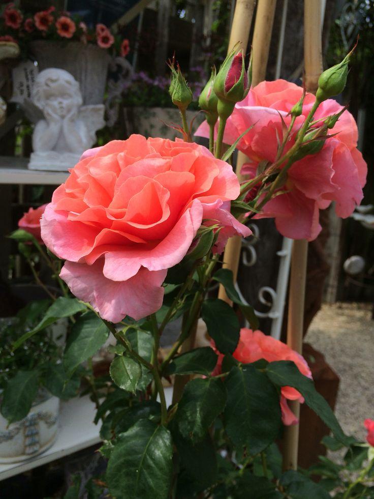 44 best images about climbing roses rosiers grimpants on for Rosier grimpant pour mi ombre
