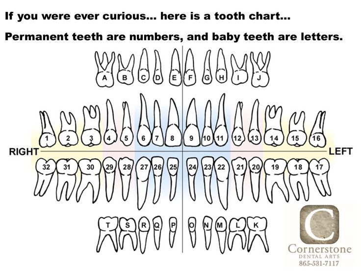 Here Is A Tooth Chart Or A Tooth Map That Shows The Lettering And Numbering Sy Chart Lettering Map Numberin Tooth Chart Teeth Anatomy Baby Tooth Chart