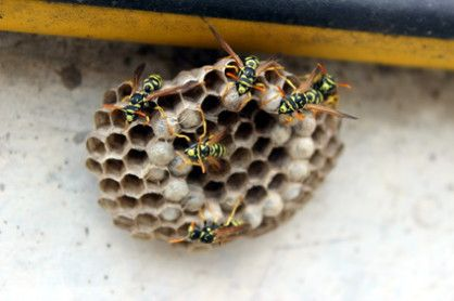 Was tun gegen Wespen und deren Stiche...