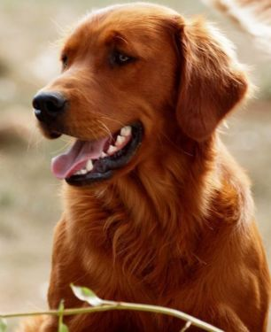 red golden retriever - Google Search