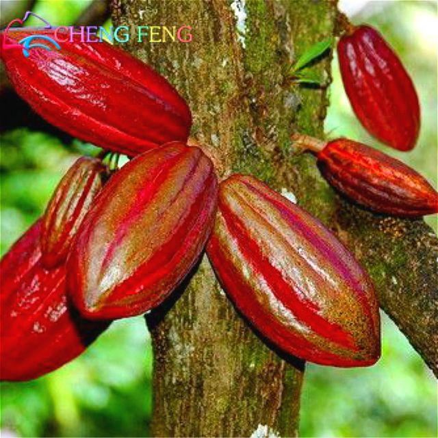 10 UNIDs Carambola карамболой Семена Семена Редкие Sementes Карамбола Карамбола дерево бонсай сад кашпо Древесные растения освобождают перевозку груза