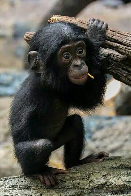 cute lil chimp:):):)