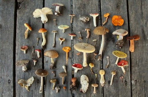 mushroom collection: Food, Art, Mushrooms Colour, Fungus, Wild Mushrooms, Organizations Neat, Things, Dainty Squid, Natural