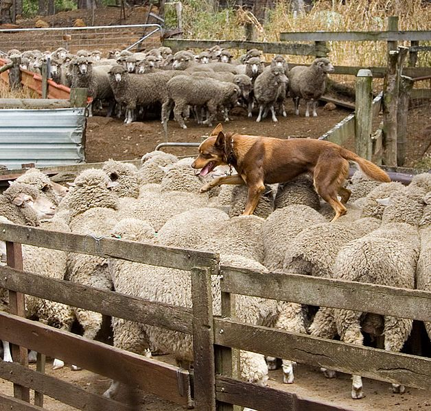 Australian Kelpie walking across the backs of sheep, The Shearing Shed, Yallingup, Western Australia