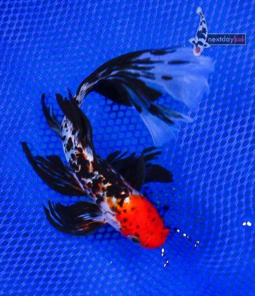 Goldfish - Chinese Shubunkin