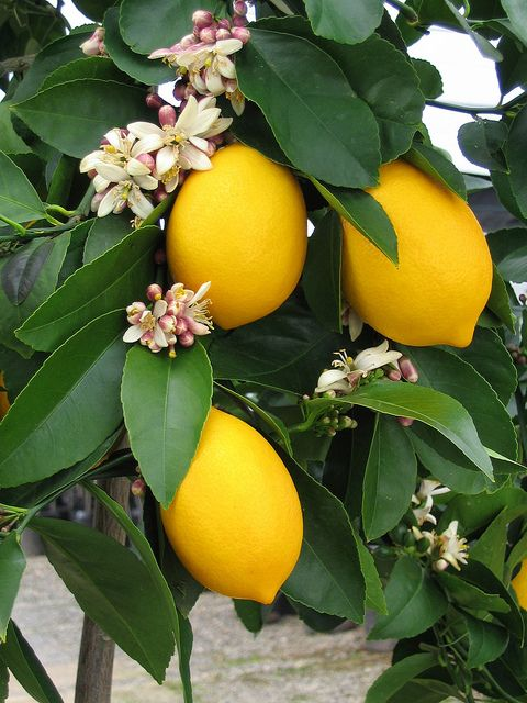 """Improved"" Meyer Lemon fruit and bloom  check out the recipes on  fourwindsgrowers.... We planted on this past summer....have 4 lemons on it now!"