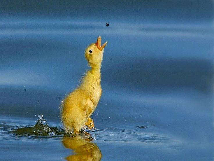 ducks   Stock Photoholic: Ducks Wallpapers