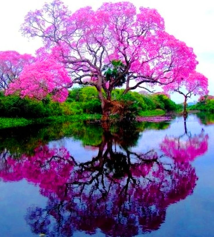 Jacaranda Tree - Piúva Tree (Pink Trum­pet tree) comes from the same fam­ily as the Jacaranda tree. Photographed in Brazil.
