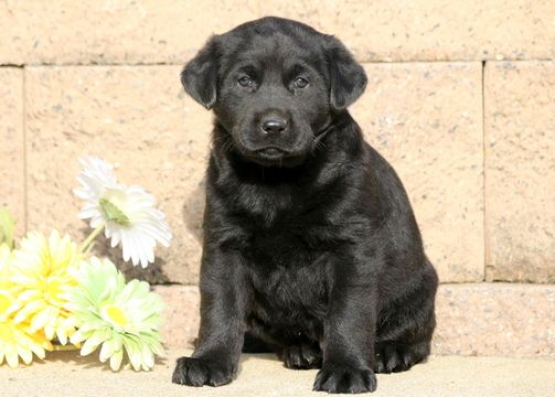 Labrador Retriever puppy for sale in MOUNT JOY, PA. ADN-53253 on PuppyFinder.com Gender: Male. Age: 6 Weeks Old