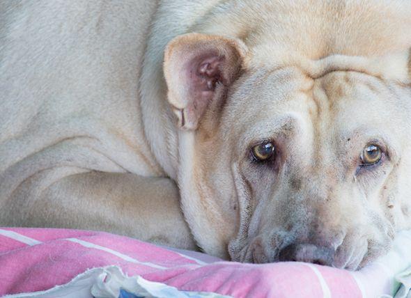 mammary gland tumor in dog