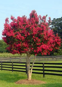 Tonto Crape Myrtle / Size: 8-15' tall, 6-10' wide / Blooms: Summer (though keeps green leaves long) / Water: good drought tolerance / Price Range: $50-80 (plant zone 7)