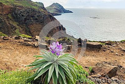 Coastline view with endemic flower Matthiola maderensis, Madeira Island