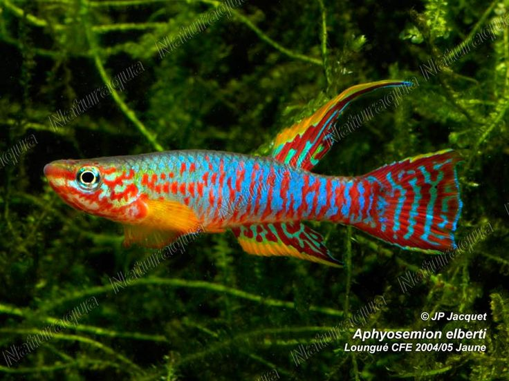 453 best adorable killifish small freshwater jewels images for Colorful freshwater aquarium fish