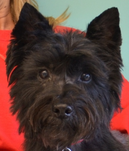 Cairn Terrier. Perfect beady eyes and black button nose ...