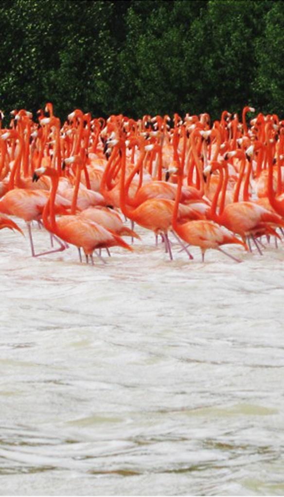 Flamingos en Yucatán
