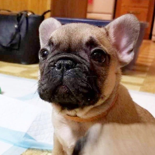 Baby Winnie Hankandstella French Bulldog Puppies French