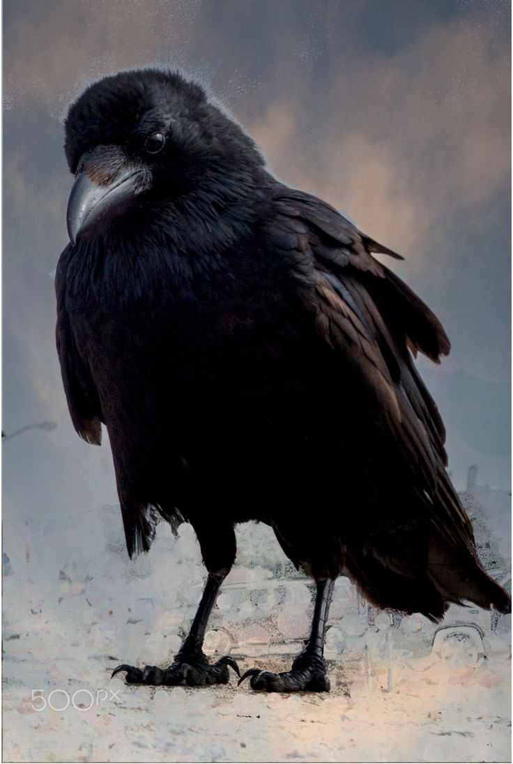 983 best crows and ravens images on Pinterest