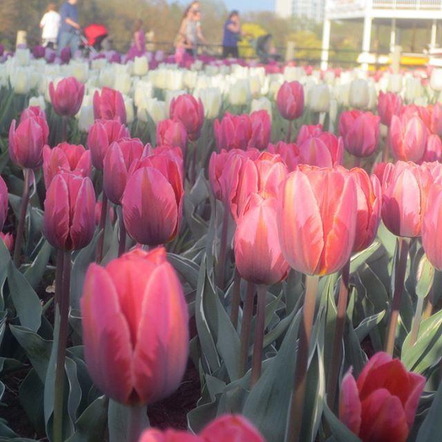 Festival canadien des tulipes/Canadian Tulip Festival - Ottawa, Canada