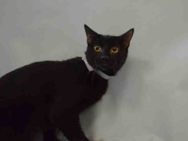 SALEM - A1090036 - - Manhattan  *** TO BE DESTROYED 09/21/16 *** CAT NOT WELCOME IN FLORIDA…Or to put it another way, SALEM'S owner didn't bother to find pet friendly housing…..SALEM is a two year old licorice love who has lived with cats and dogs, he is a shoe-in for a multi-pet household….Sadly, a bunch of SALEM'S friends were dumped also. HERBIE is SAFE and MISHKA is Unknown Status…..SALEM also interacted well with children. The