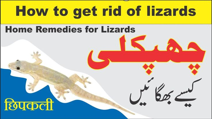 Home remedies for lizards छपकल how to get rid of lizards